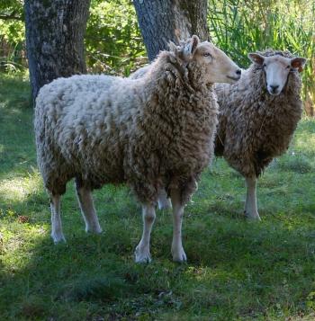 Sheep Faves