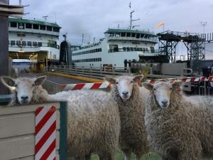 sheep on PTferry