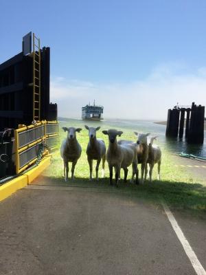 sheep on the ferry bridge